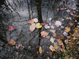 Autumn Leaves Floating in Israel Creek