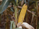 Drought-Stunted Ears of Corn on Brown Stalks