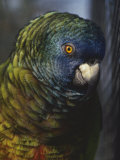Saint Lucia Parrot