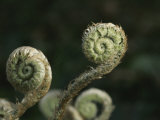 Close View of Fiddlehead Fern Fronds