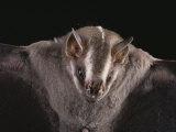 Close View of a Bat in a Rain Forest in Costa Rica