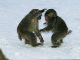 Two Juvenile Japanese Macaques  or Snow Monkeys  Play in the Snow