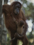 A Former Captive Orangutan and Her Baby  Which was Born in the Wild