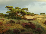 Heathland on the Island of Hiddensee in the East Sea