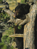An American Black Bear Licks Ants off a Tree Limb