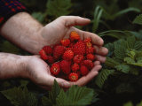 A Man Holding Salmonberries