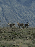 Group of Wild Burros in the Panamint Valley