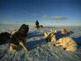 Dogsled Dogs Rest as Their Musher Straightens Their Leads