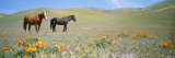 Two Horses Stand Amid Blooming California Poppies in Foothills