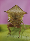 Close View of a Treehopper
