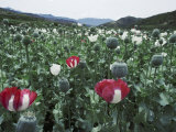 Pathan Opium Poppy Fields Flowering in the Khanpur Valley