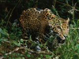 A Jaguar on the Prowl