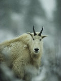 Portrait of a Male Rocky Mountain Goat