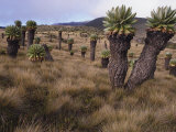 Meadows and Groundsel Trees  Mt Kilimanjaro  Tanzania