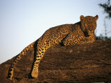 A Leopard  Panthera Pardus  Rests on a Large Tree Limb