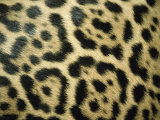Close View of Jaguar Fur Markings