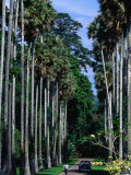 Palmyra Avenue of Royal Palms in Peradeniya Botanical Gardens  Kandy  Sri Lanka