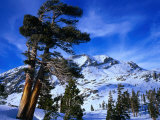 Ancient Limber Pines with Snowy Mountain Behind Sequoia National Park  California  USA