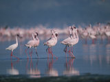 A Group of Greater Flamingos Wade in the Shallow Water of Lake Nakuru