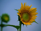 A Close View of a Blossoming Sunflower