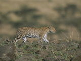 A Leopard Walks Along a Rocky Ledge in Masai Mara National Reserve