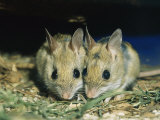 Two Spinifex Hopping Mice Huddle Together to Keep Warm