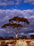 Eucalypt (Eucalypt Sp) or Gum Tree in Scrub  Nullarbor Plain  Australia