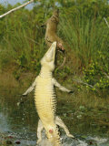 A Cuban Crocodile Leaps from Water to Grab a Hutia Set out as Bait