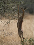 A Gerenuk Stands on its Hind Legs to Feed from the Top of a Bush