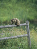 A Pet Cat Walking Along a Wooden Fence