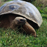The Galapagos Tortoise is the Largest Living Tortoise  Galapagos  Ecuador