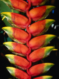 Detail of Hawaiian Heliconia (Heliconia Caribaea)  Hilo  USA