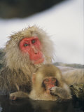 Japanese Macaques (Macaca Fuscata)  Mother and Baby  Jigokudani  Japan