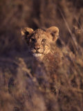 African Lion Cub  Panthera Leo