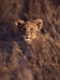 African Lion Cub  Panthera Leo