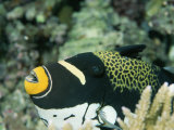 Clown Triggerfish  Balistoides Conspicillum  Near Fingers of Coral