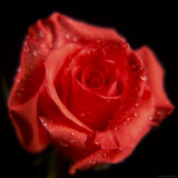 Rose  Flower