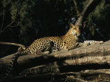 A Leopard  Panthera Pardus  Rests on a Fallen Tree
