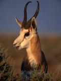 Springbok  Etosha National Park Kunene  Namibia