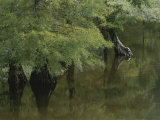 A Mangrove Swamp in Alabama  a Turtle Rests on the Tree Trunk on the Right Side of the Frame