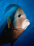 Gray Angelfish  Close-up