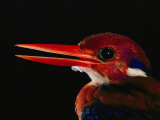 A Close View of the Head of a Philippine Dwarf Kingfisher