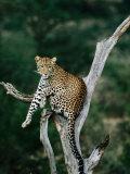 Leopard (Panthera Pardus) in Tree  Looking at Camera  Samburu National Reserve  Kenya