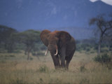 African Elephant on the Veldt