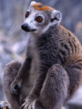 Crowned Maki This Specie Lives Only in the North of the Island  Madagascar