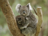 A Mother Koala and Baby in the Fork of a Tree