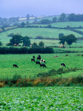 Milking Cows in Paddock  United Kingdom