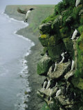 Thick-Billed Murres Roost on a Nesting Cliff on St Paul Island