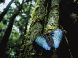 A Blue Morpho Butterfly on the Above-Ground Root of a Palm Tree