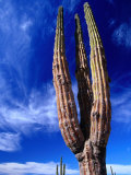 Cardon Cactus Pachycereus Pringlei  World's Tallest Species of Cactus  Endemic to Baja California